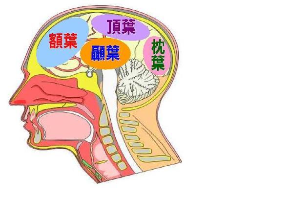 大脑结构_大脑半球