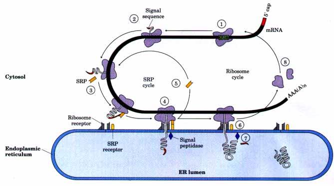 体(亦称核蛋白体)上装配为蛋白质多肽链的过程,称为翻译(translation)图片