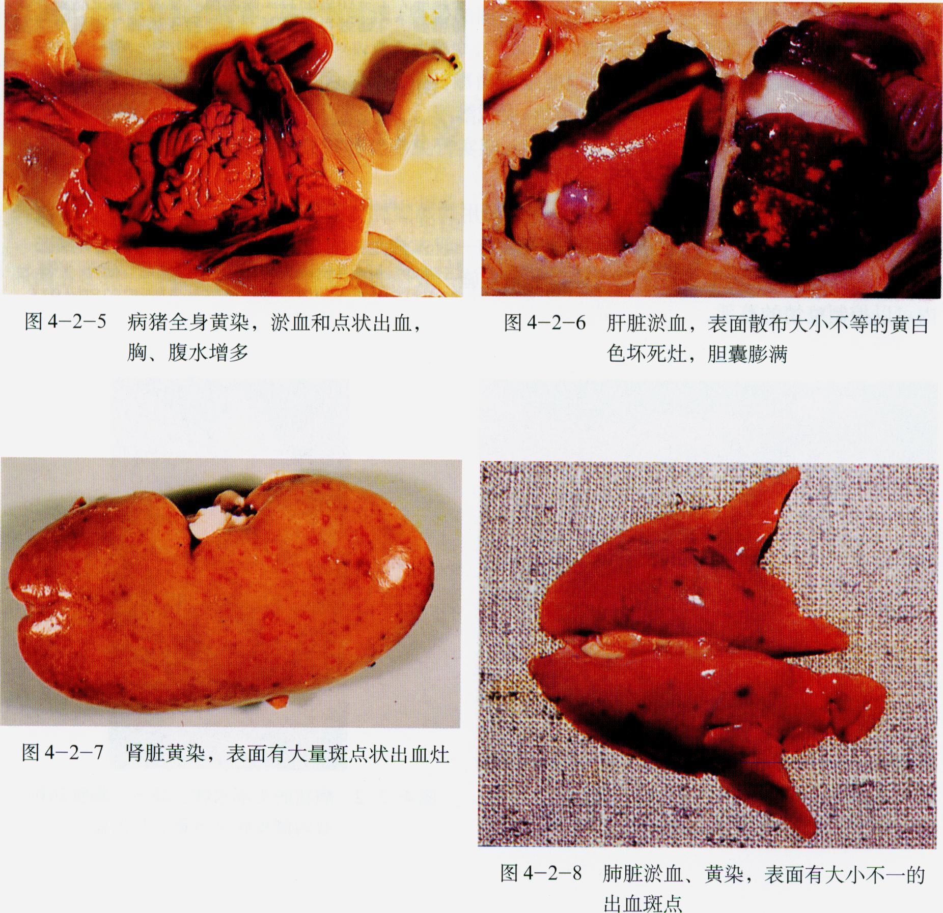 豬鉤端螺旋體病圖片