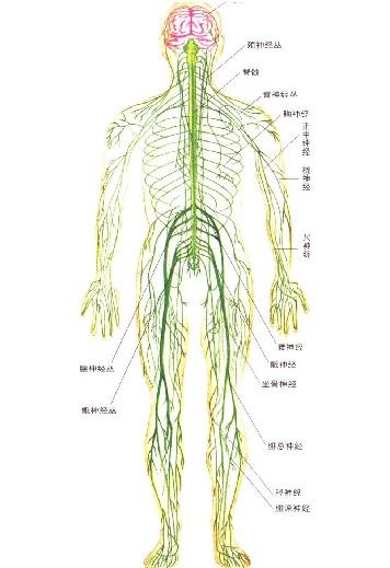 人体系统_人体神经系统