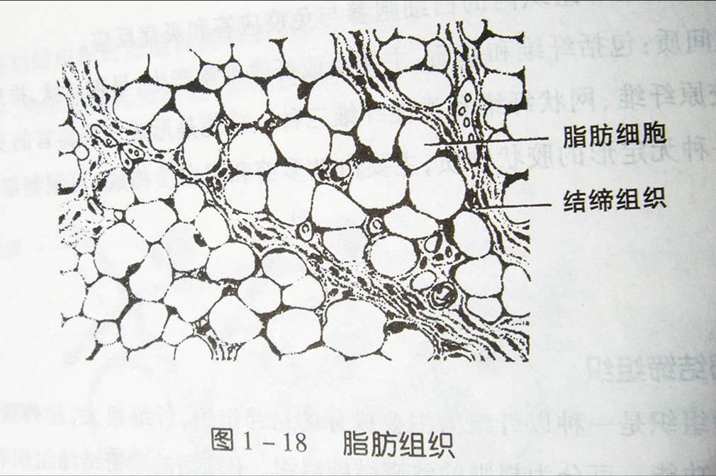 纤维脂肪组织